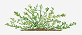 Illustration of Bacopa (Waterhyssop) bearing succulent oblanceolate green leaves on creeping stems
