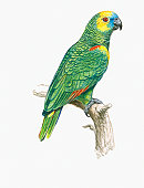 Illustration of Blue-Fronted Parrot (Amazona aestiva), also known as Blue-Fronted Amazon, perching on branch