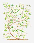 Illustration of Ceratocapnos claviculata (Climbing corydalis), bendy stems