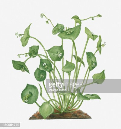 Illustration of Claytonia perfoliata (Winter Purslane) bearing small white flowers and green buds on long stems with green leaves : Stock Illustration
