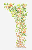 Illustration of Clematis vitalba (Traveller's joy)