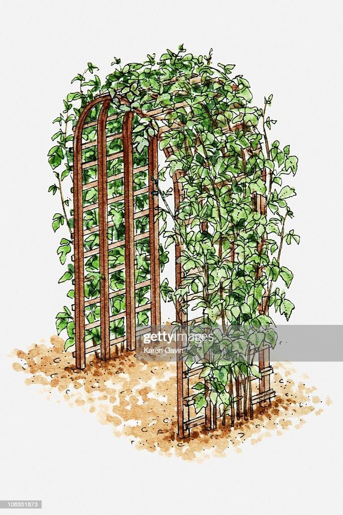 of climbing plants on arched trellis stock - Climbing Plants