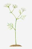 Illustration of Conopodium majus (Pignut), umbels of white flowers
