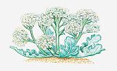 Illustration of Crambe maritima (Sea kale), wildflowers