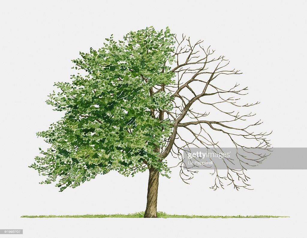 Illustration of Crataegus monogynaa (Common Hawthorn), a small spreading tree showing summer leaves  : Stock Illustration