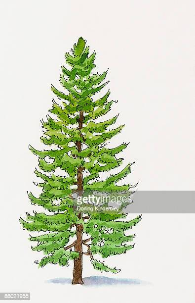 Cypress Tree Stock Illustrations And Cartoons | Getty Images