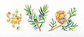 Illustration of cypress leaves and pinecone on stem, Juniper flowers, leaves and berries, and frankincense resin