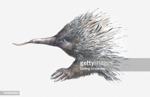 Illustration of Echidna (or Spiny Anteater) : Stock Illustration