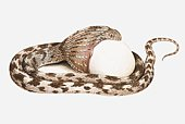 Illustration of egg-eating snake swallowing an egg