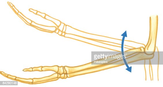 illustration of elbow hinge joint of human arm with arrows showing, Cephalic Vein