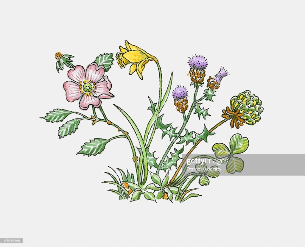 illustration of english rose welsh leek daffodil scottish thistle
