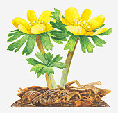 Illustration of Eranthis hyemalis (Winter aconite), bright yellow flowers