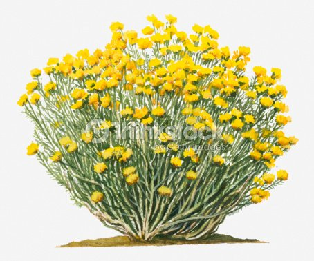 Illustration of ericameria nauseosa bearing terminal clusters of illustration of ericameria nauseosa chamisa rubber rabbitbrush bearing terminal clusters of bright yellow flowers on long stems mightylinksfo Gallery