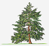 Illustration of evergreen Tsuga canadensis (Eastern Hemlock, Canadian Hemlock) tree