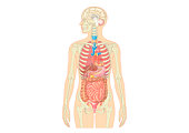 Illustration of female human body showing skeleton, brain, heart, lungs, digestive system, and uterus