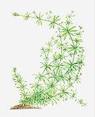 Illustration of Galium aparine (Cleavers, Goosegrass), leafy stems