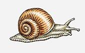 Illustration of Garden Snail (Helix aspersa)