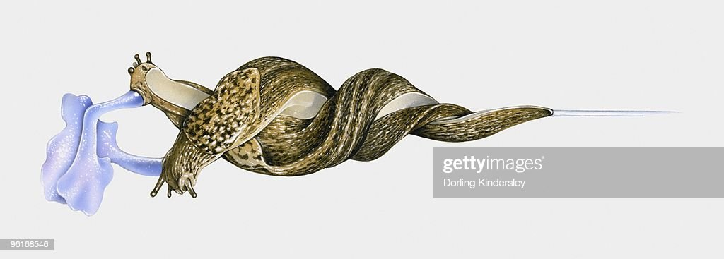 Illustration of Great slug (Limax maximus) mating hanging intertwined from stem by mucus : Stock Illustration
