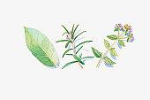 Illustration of green eucalyptus leaf, rosemary and marjoram stem, flowers and leaves