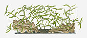 Illustration of Hedyotis diffusa (Spreading Hedyotis) bearing tiny white flowers and green leaves on spreading stems growing close to ground near decaying brown leaves