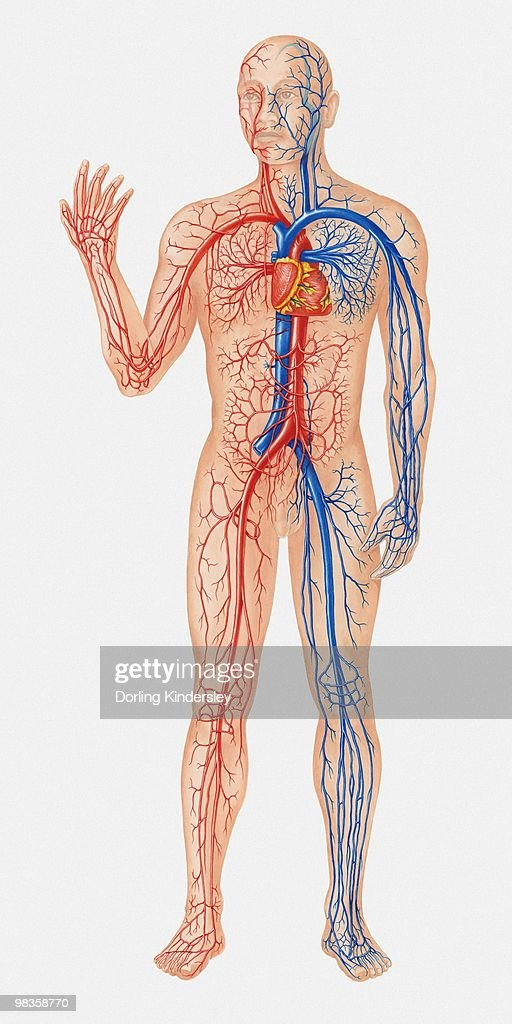 Illustration of human circulatory system : Stock Illustration