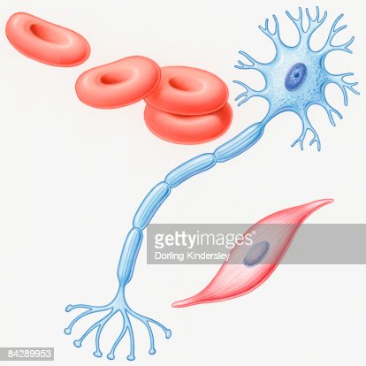 illustration of human muscle cell nerve cell and red blood cells, Muscles