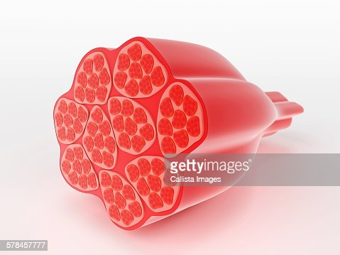 Illustration of human muscle cells : Stock Illustration