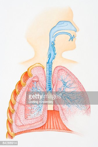 Illustration Of Human Respiratory System Showing Oral Cavity And Nasal Cavity Larynx Trachea