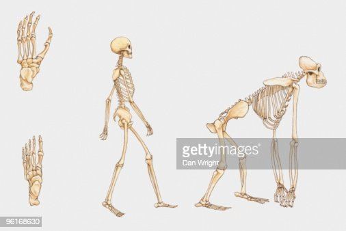 illustration of human skeleton gorilla skeleton and human foot and, Skeleton
