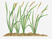 Illustration of Imperata cylindrica (Woolly Grass) with seed tufts on long stems