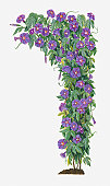 Illustration of Ipomoea hederacea (Ivy-leaved Morning Glory) bindweed bearing blue-violet flowers with green leaves on climbing stems
