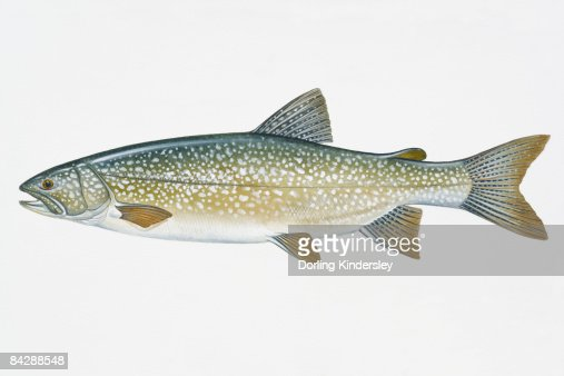 Illustration of lake trout north american freshwater fish for North american freshwater fish