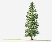 Illustration of Larix laricina (Tamarack, Tamarack Larch) deciduous tree