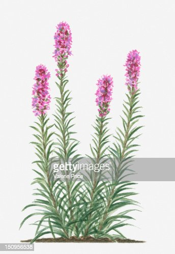 Illustration of liatris spicata bearing spikes of deep for Plant with tall spikes of yellow flowers