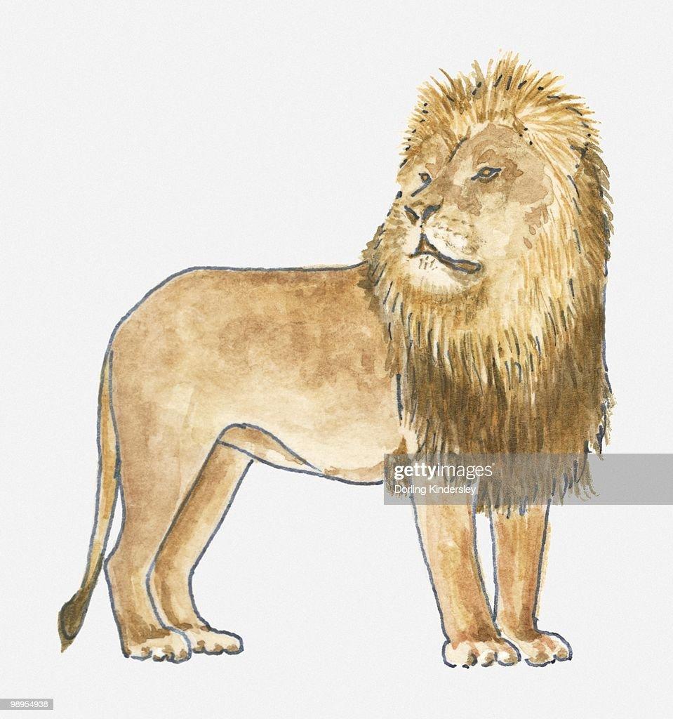 Illustration of Lion (Panthera leo), standing : Stock Illustration