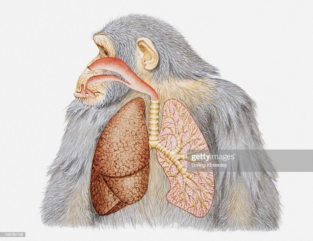 illustration of lungs and respiratory system of a chimpanzee stock
