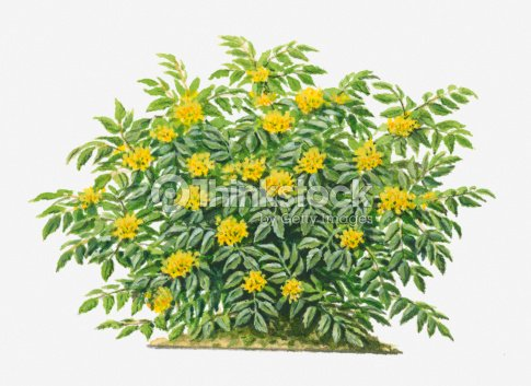 Illustration of mahonia aquifolium evergreen shrub with yellow illustration of mahonia aquifolium oregon grape evergreen shrub with yellow flowers stock mightylinksfo