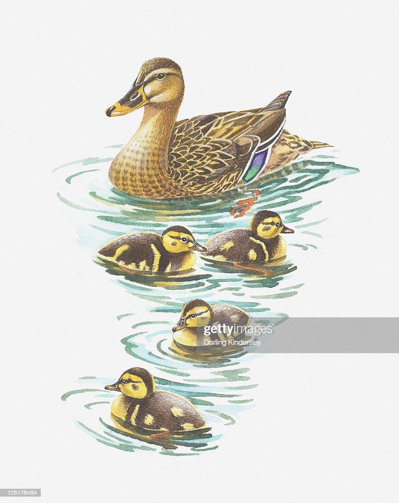 illustration of mallard duck with ducklings stock illustration