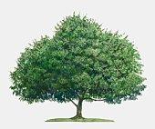 Illustration of Mangifera indica (Mango), a large evergreen tropical tree
