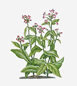 Illustration of Nicotiana tabacum (Tobacco) bearing pink-white flowers on long stems with green leaves
