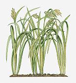 Illustration of Oryza sativa (Asian Rice) bearing ripening panicles on long leaf stems