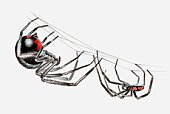 Illustration of pair of Black widow spiders (Latrodectus sp.), larger female and smaller male, hanging upside down from a spider web in courtship ritual
