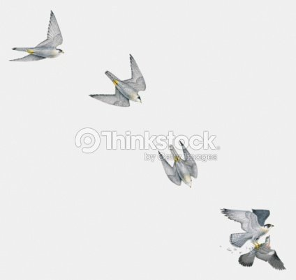 Illustration Of Peregrine Falcon Attacking A Pigeon In ...