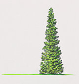 Illustration of Picea mariana (Black Spruce) tree with green leaves