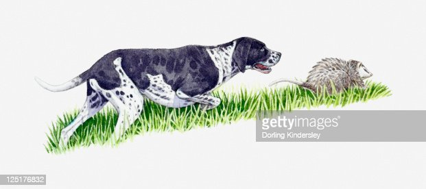 Illustration of Pointer chasing Opossum (Didelphimorphia)  : Stock Illustration