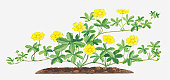 Illustration of Potentilla reptans (Creeping cinquefoil), leaves and yellow flowers on branching stems