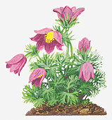 Illustration of Pulsatilla vulgaris (Pasque flower), pink flowers