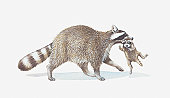 Illustration of raccoon carrying young