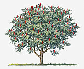 Illustration of Rhus typhina (Staghorn Sumac) bearing ripe red fruit