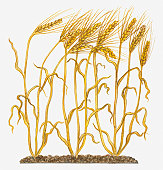 Illustration of ripe Hordeum vulgare (Barley) on long stems